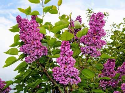 lilac #6 perennial shrub