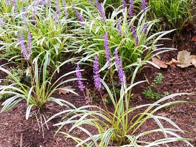 liriope #1 perennial with purple flowers