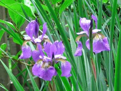 purple irus #10 perennial