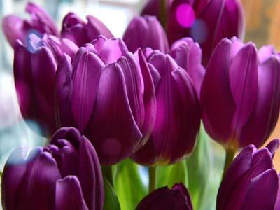 purple tulips #13 perennial
